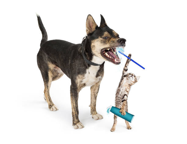 Funny kitten brushing dogs teeth picture id912325904?b=1&k=6&m=912325904&s=612x612&w=0&h=6epsyn0vucb2jl5t czd3zykbssgacsu1dcfdjpyali=