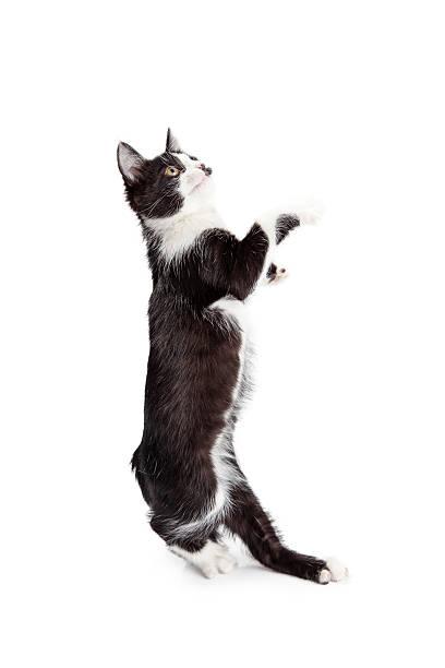 Funny kitten standing up dancing picture id584211198?b=1&k=6&m=584211198&s=612x612&w=0&h=d5zzdjqjftkqpq9vdpwv08qdl8gjywz4nkmwqemvjyc=