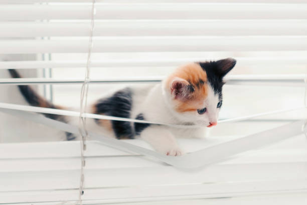 Funny kitten tangled in the blinds playing on the window picture id1141109898?b=1&k=6&m=1141109898&s=612x612&w=0&h=y8 gck8flvb 5kkuzhssdn 0qy8t6y dcd7fxmc697q=