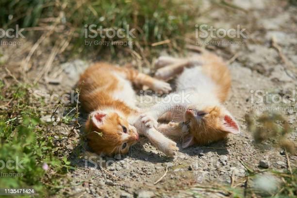 Funny kittens playing outdoors picture id1135471424?b=1&k=6&m=1135471424&s=612x612&h=vfwcujqtytmrpj7cfaao8kzu73wzto5lmejzbolybu4=