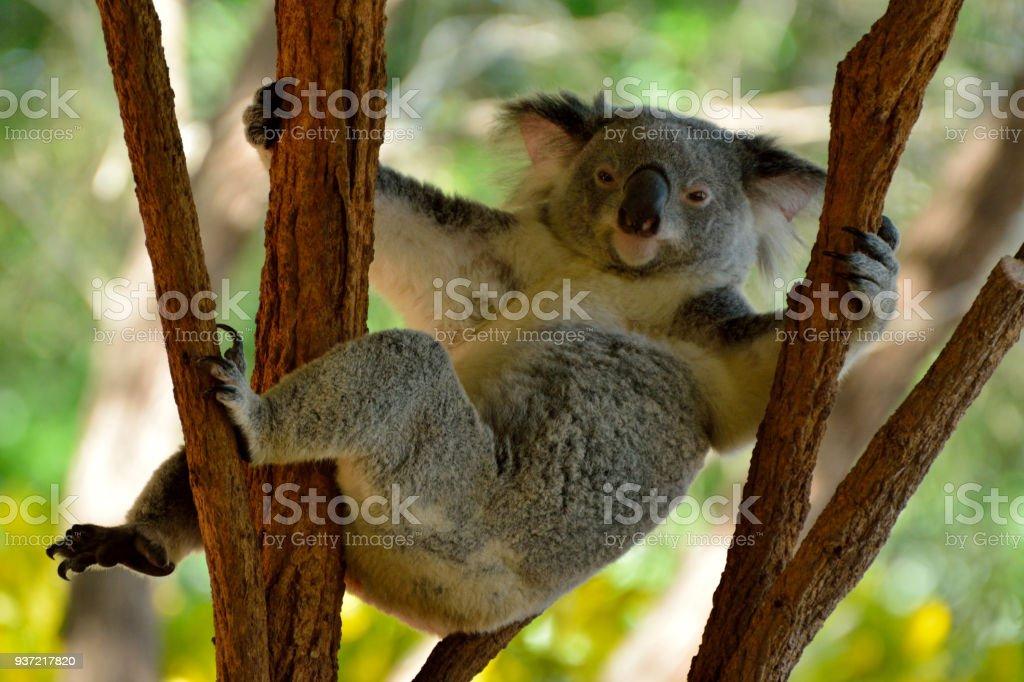 Funny koala resting on eucalyptus tree stock photo