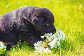 istock Funny labrador retriever puppy sniffs flowers. Dog sitting on the grass in spring 1132753522