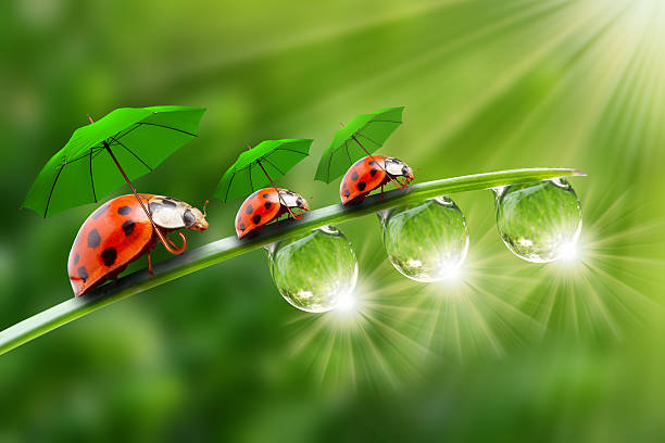 Funny ladybugs with umbrela walking on a dewy grass. stock photo