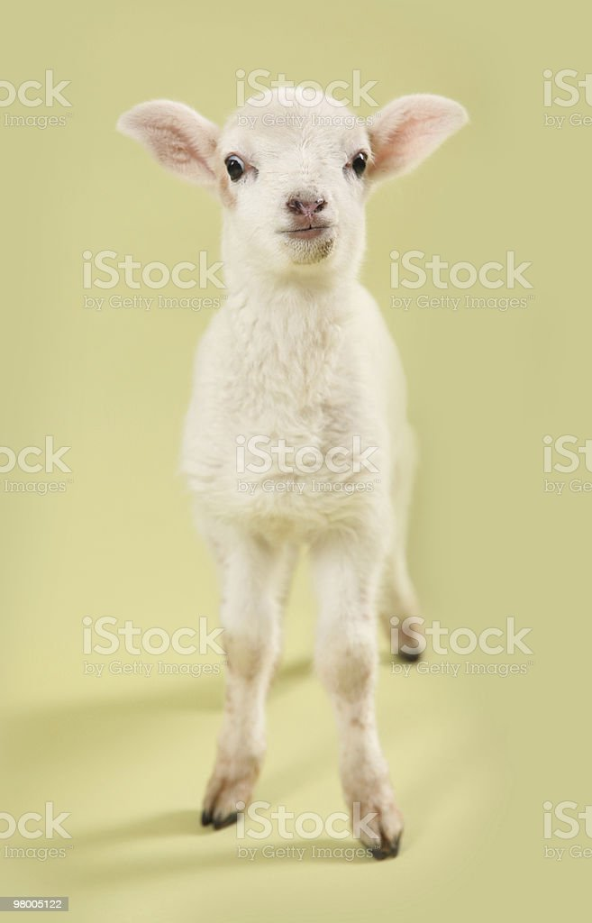 Funny Lamb royalty-free stock photo