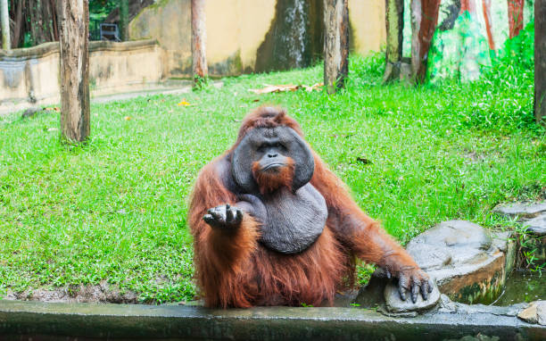 Funny large brown Sumatran Orangutan displeased Funny large brown Sumatran Orangutan displeased. Pongo abelii monkey give hand and begging food primate stock pictures, royalty-free photos & images