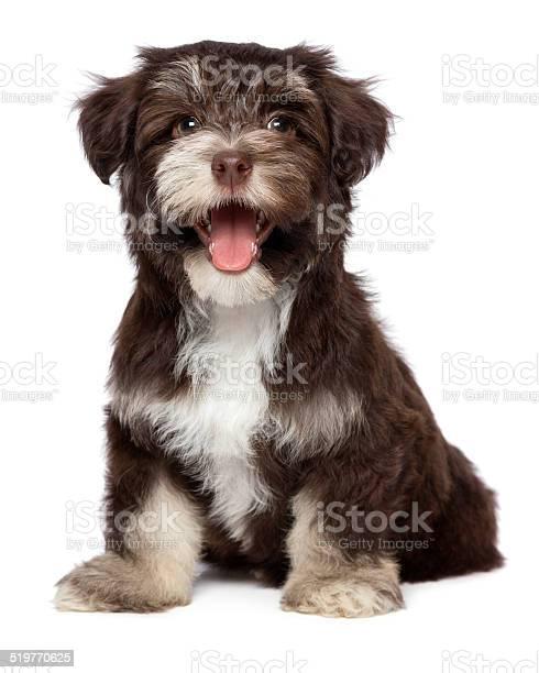 Funny laughing chocholate havanese puppy dog picture id519770625?b=1&k=6&m=519770625&s=612x612&h=gmkqja4hb9qdlx68ysytxlazt2bafplnolx7xyqdili=