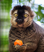 istock Funny lemur caught red handed eating a carrot. Adorable. 1020502142