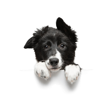 funny little black and white border collie puppy isolated on background holding paws plate, closeup of the muzzle and paws