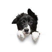 istock funny little black and white border collie puppy isolated on background holding paws plate 1249754856