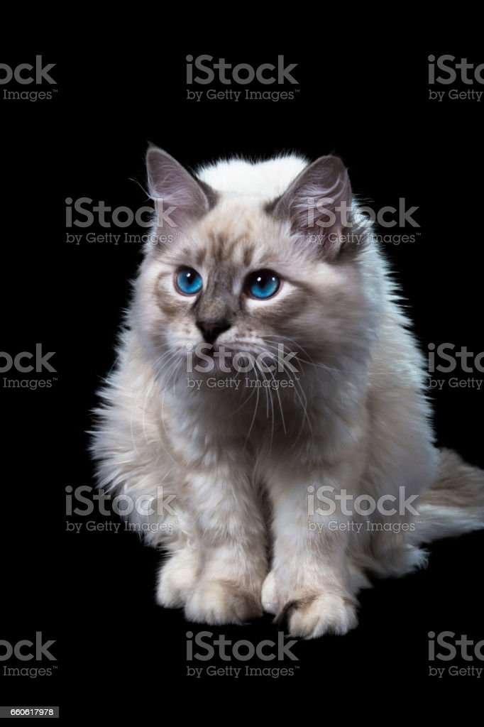 funny little blue-eyed white cat, isolated on black royalty-free stock photo