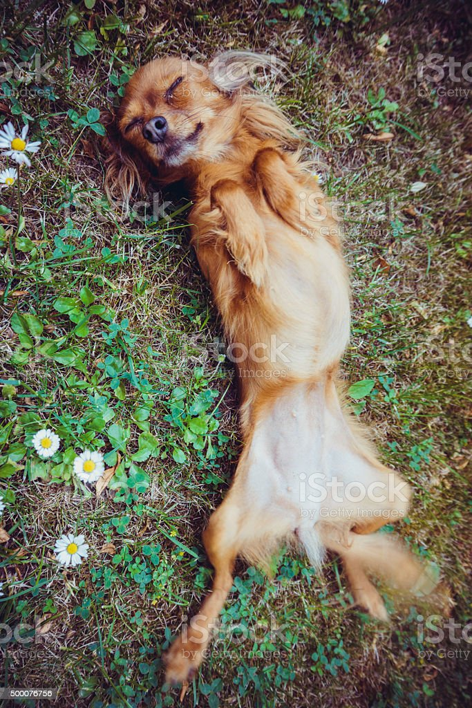 Funny little dog stock photo