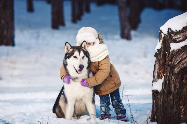 Funny little girl hugging her big Malamute dog in winter in the forest. Funny little girl hugging her big Malamute dog in winter in the forest. The girl looks out with one eye because of the dog's ear. Concept of friendship of man and dog. The concept of winter holidays. Photo with background blur malamute stock pictures, royalty-free photos & images