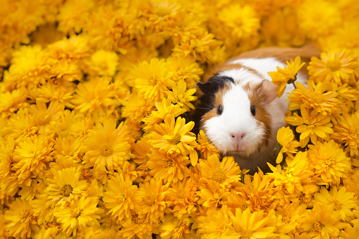 Funny little guinea pig sitting in yellow flowers outdoors