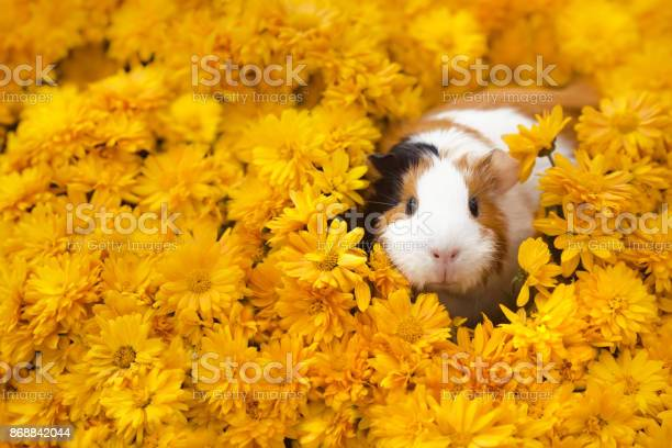 Funny little guinea pig sitting in yellow flowers picture id868842044?b=1&k=6&m=868842044&s=612x612&h=ztgjvx8uechrrrinfmkhxf gnuyuxaxcxooukyaarzg=