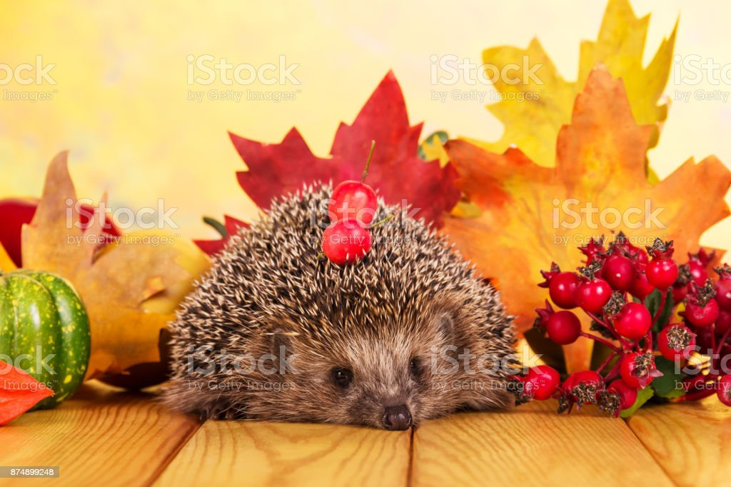 Funny little hedgehog on table, on background bright autumn leaves stock photo