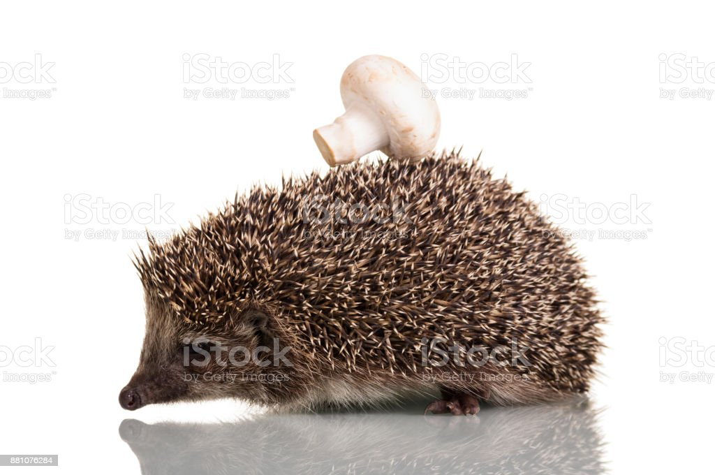 Funny little hedgehog with mushroom on the thorns, isolated on white stock photo