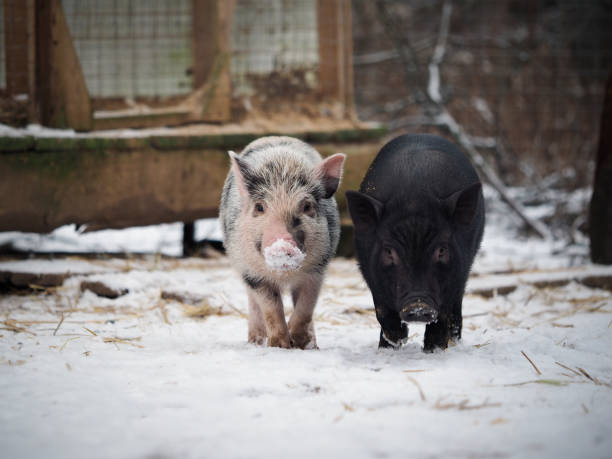 Funny little pigs. Noses in the snow stock photo