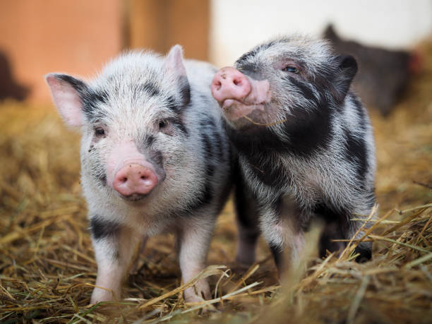 Funny little pigs on the farm stock photo