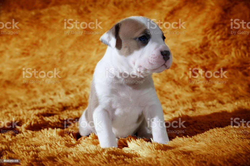 Funny little puppy royalty-free stock photo