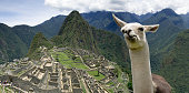 Funny Llama in Machu Picchu
