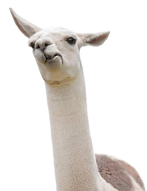 funny llama isloated on white - lama kamelartige stock-fotos und bilder