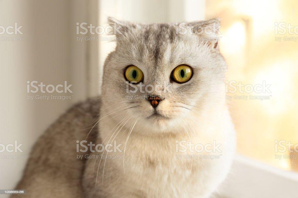 Lustig Aussehende Graue Und Weisse Katze Drinnen Stockfoto