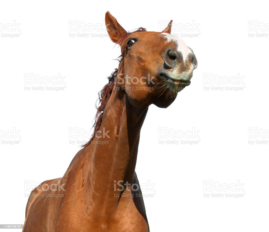 Funny Looking Horse Head Isolated On White Background Stock Photo Download Image Now Istock