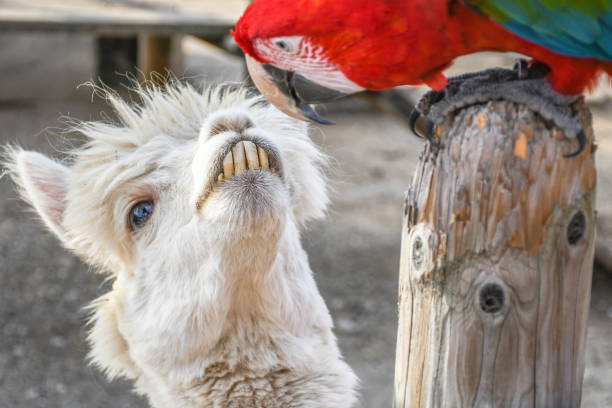 Funny looking lama staring at green wing scarlet macaw stock photo