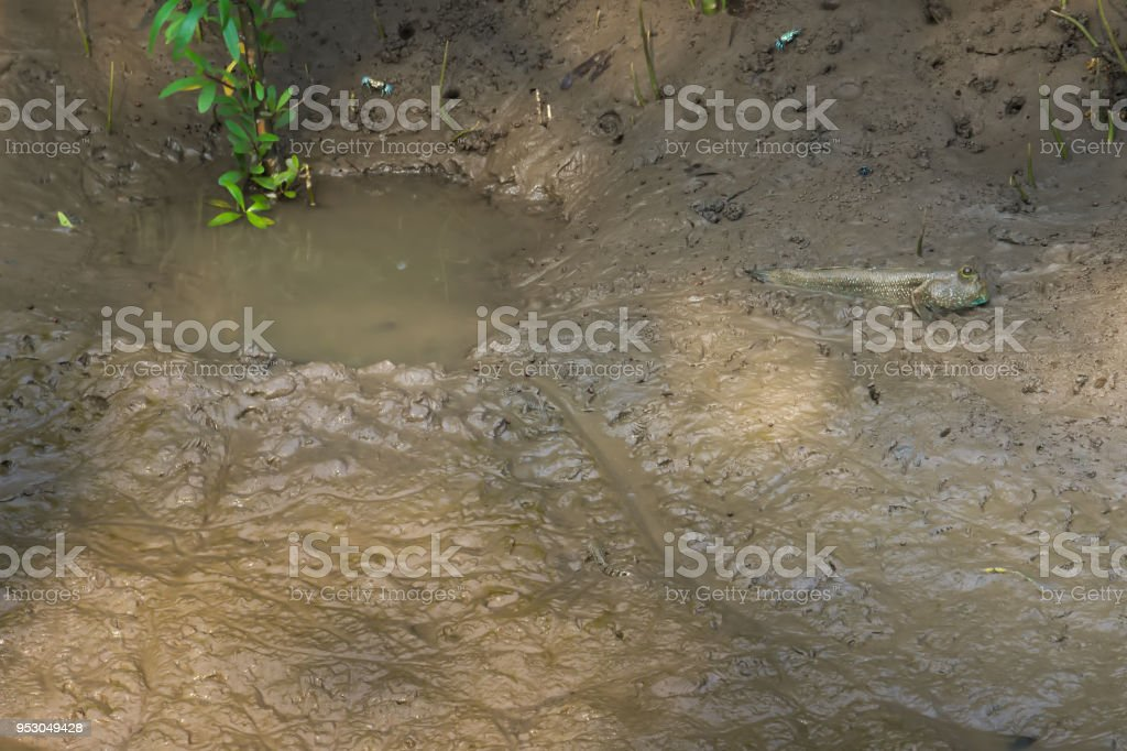 A funny looking, lovely, Thai walking fish, with a human-like face, near its personal water puddle, in a river delta mangrove forest's sandy banks. stock photo
