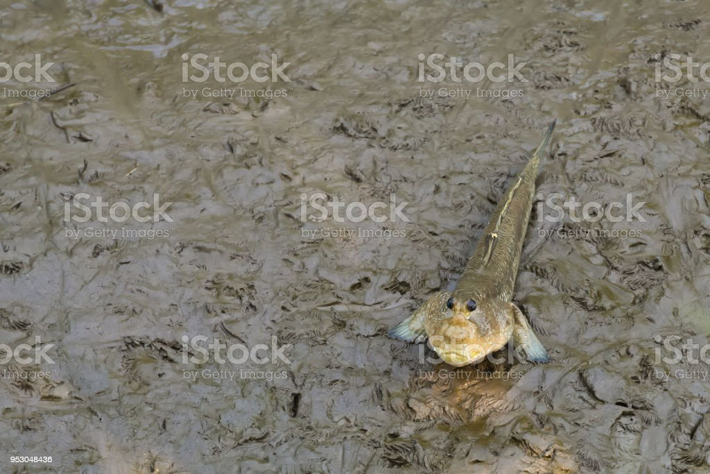 A funny looking, lovely, Thai walking fish, with human-like face, found staring forward, in a river delta mangrove forest's sandy banks. stock photo
