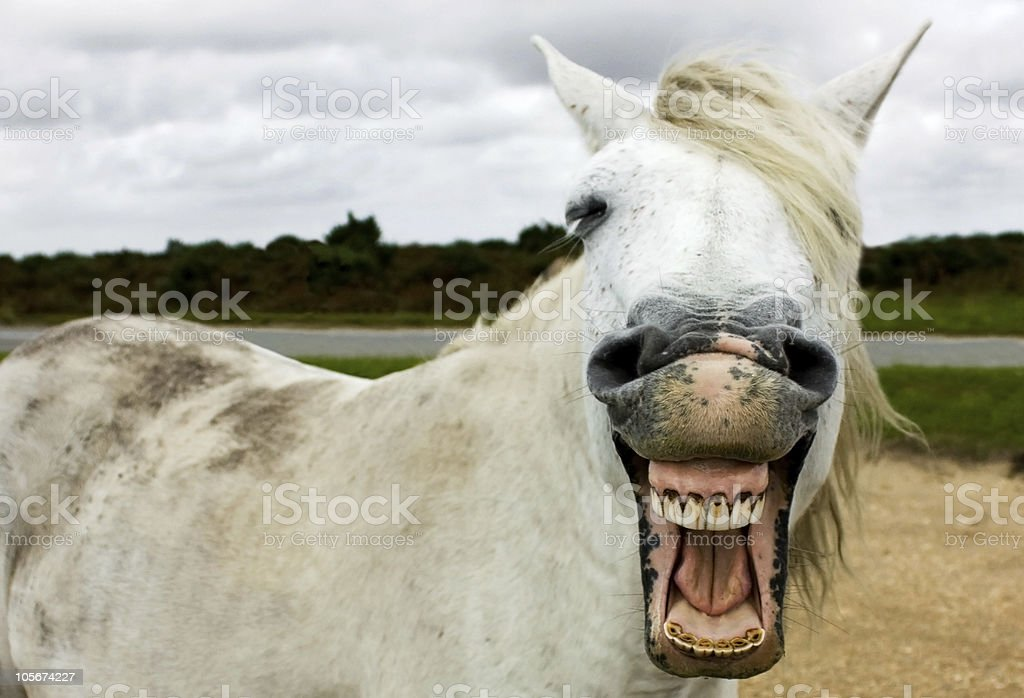 Funny looking New Forest Horse stock photo