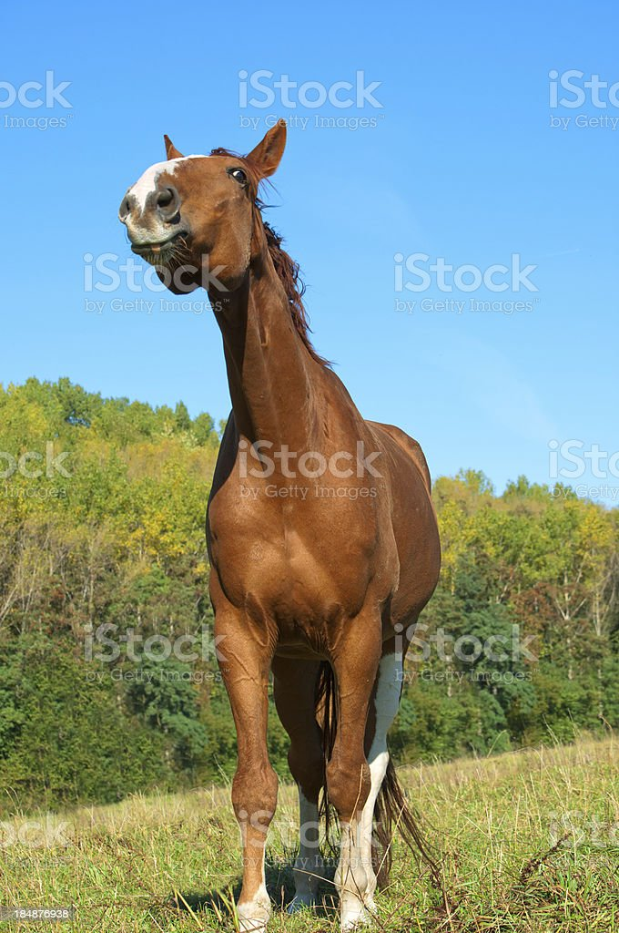 Funny Looking Warmblood Horse Stock Photo Download Image Now Istock
