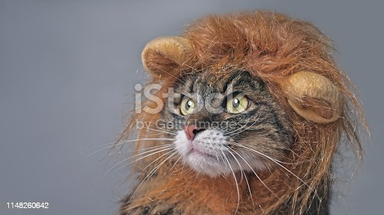 Funny maine coon cat in lion costume looking sideways. Isolated on gray with copy space.