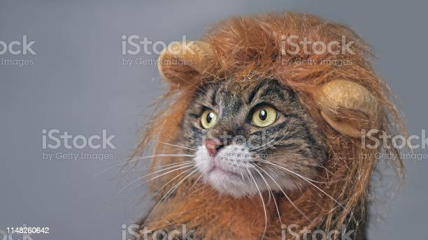Funny maine coon cat in lion costume looking sideways isolated on picture id1148260642?b=1&k=6&m=1148260642&s=612x612&h=0ytxfofvqwrvu50vrbv6azyztp25x1w15u0acfwnzfe=