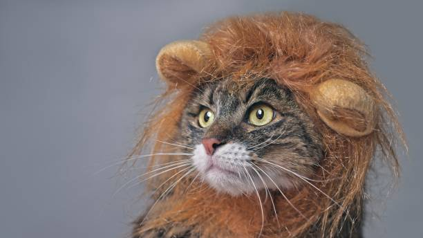 Funny maine coon cat in lion costume looking sideways. Isolated on gray with copy space. Funny maine coon cat in lion costume looking sideways. Isolated on gray with copy space. pet clothing stock pictures, royalty-free photos & images