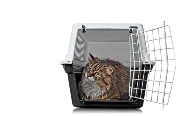 Funny maine coon cat sitting in a open pet carrier and looking picture id1154423903?b=1&k=6&m=1154423903&s=612x612&w=0&h=0k90dmogksqkvubtdmql0ycbhes7widdrltr3kzbn04=