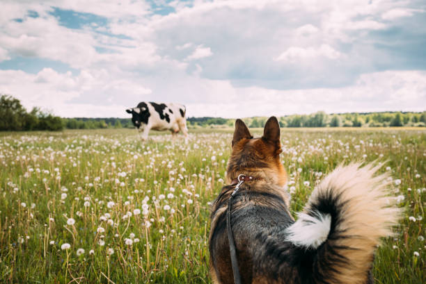 Funny Mixed Breed Dog Walking In Green Meadow Grass. Lovely Pet Meeting Cow stock photo