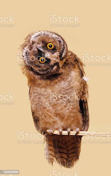 Funny owl picture id105933586?b=1&k=6&m=105933586&s=612x612&h=1k6un bgpkkbv7b2mmtnoxz8awv5xl1edtwgy t iwu=