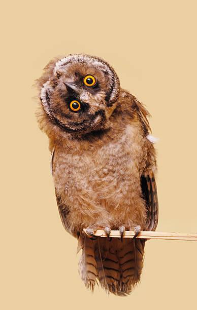 Funny owl picture id105933586?b=1&k=6&m=105933586&s=612x612&w=0&h=wym8qlnzzyy6rwja zjwksnz54qigacukaeu6z dlgo=