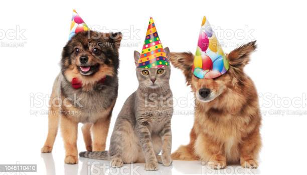Funny party dogs and a cat wearing birthday caps picture id1048110410?b=1&k=6&m=1048110410&s=612x612&h=i4nauvr1hqln8tm8cpsw4wkyx1buwr31iem29dsisa4=