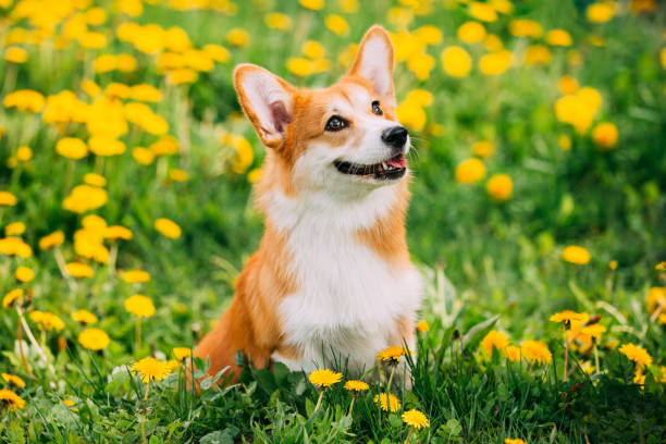 Funny Pembroke Welsh Corgi Dog Puppy Playing In Green Summer Meadow Grass With Yellow Blooming Dandelion Flowers. Welsh Corgi Is A Small Type Of Herding Dog That Originated In Wales stock photo