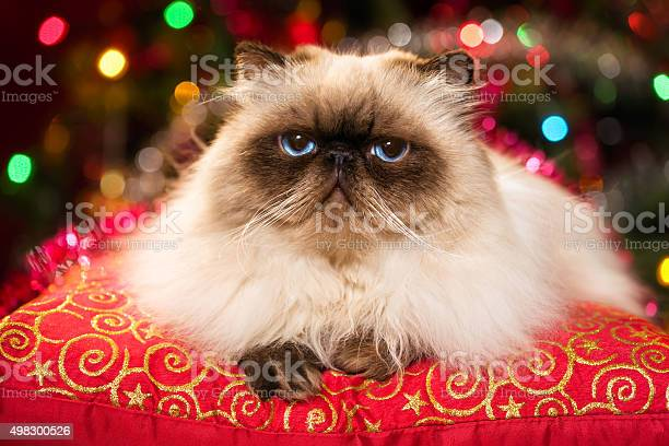 Funny persian cat lying on a christmas cushion with bokeh picture id498300526?b=1&k=6&m=498300526&s=612x612&h=u f1qvmh2woqws3efmvwmq8h8wqx1r5sfcfamr77ow4=