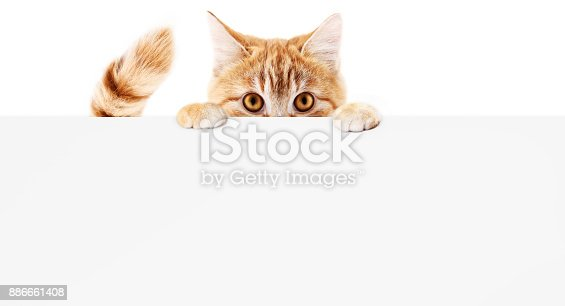 istock funny pet cat showing a placard isolated on white background blank web banner template and copy space 886661408