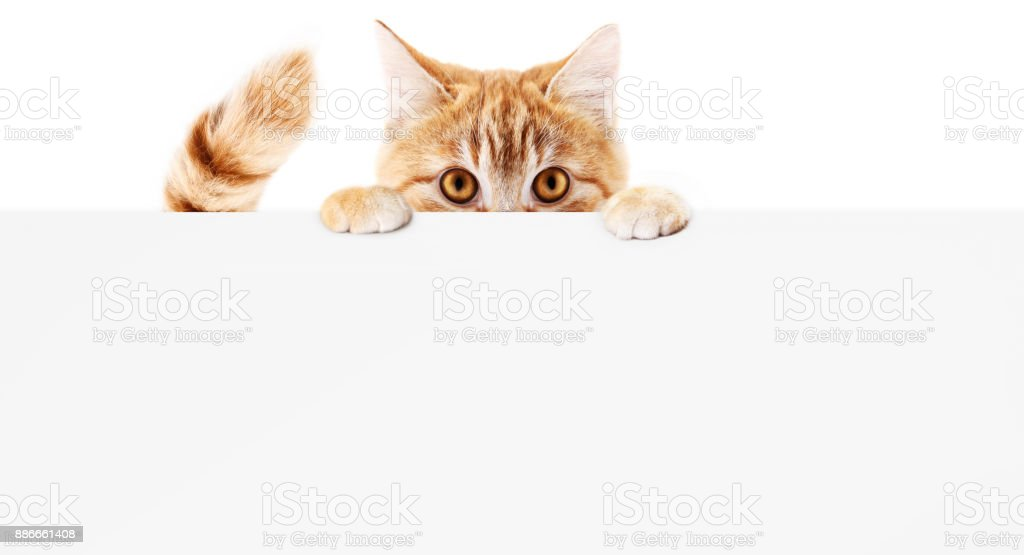 funny pet cat showing a placard isolated on white background blank web banner template and copy space stock photo