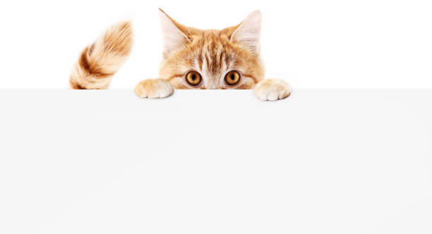 funny pet cat showing a placard isolated on white background blank web banner template and copy space - cat stock pictures, royalty-free photos & images