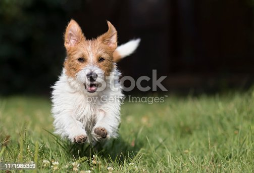 1053642922 istock photo Funny pet dog running, background with copy space 1171985359