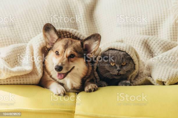 Funny pets lying under blanket on sofa picture id1044929520?b=1&k=6&m=1044929520&s=612x612&h=t4qu989llrhebdmtceyrqzemp0mpgfvvx1j9tlbghq8=