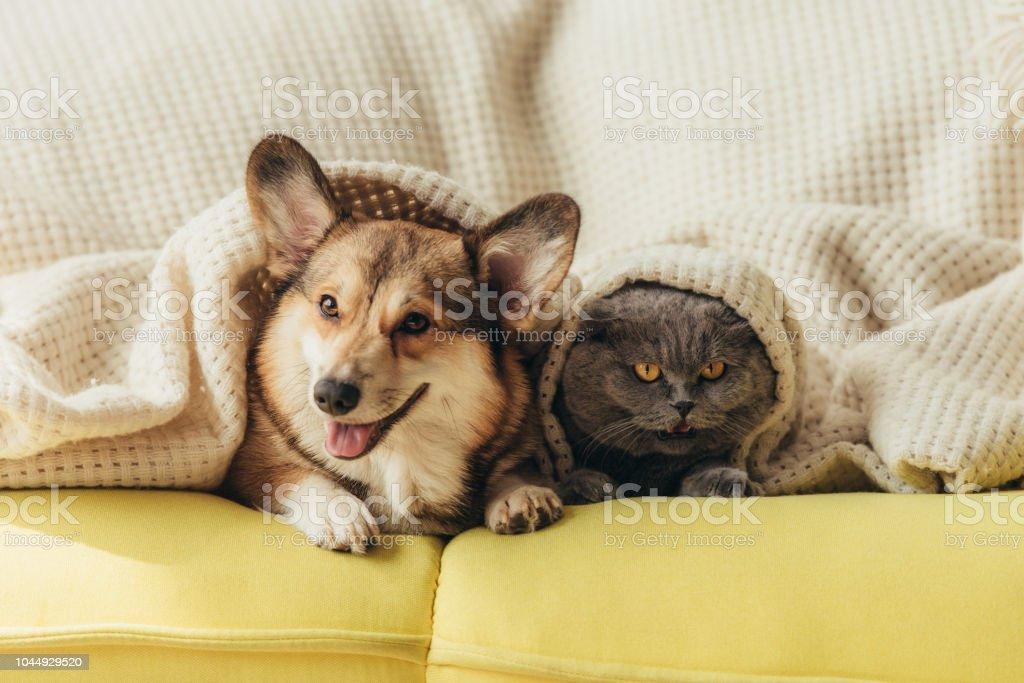 lustige Tiere unter Decke auf dem Sofa liegend – Foto