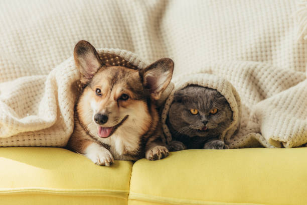 roliga husdjur ligga under filt på soffan - kattdjur bildbanksfoton och bilder