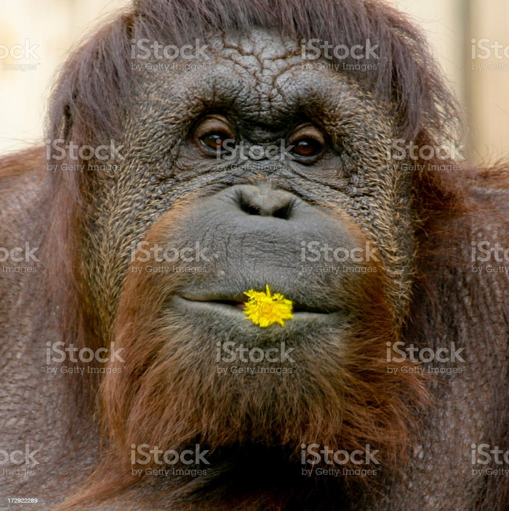 Funny Photo of an Orangutan With Dandelion In Its Lips stock photo